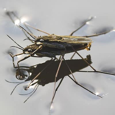 water strider life cycle