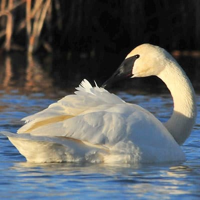 adult tundra swan in a pond