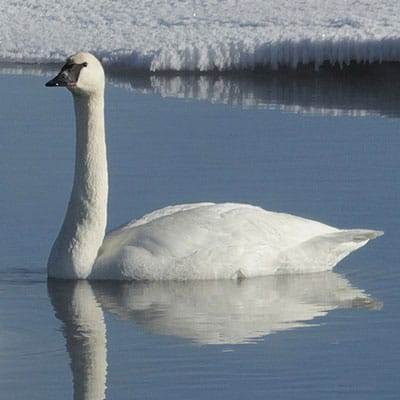 swans may stick around for winter if water is free of top ice