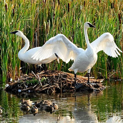 build swan islands to attract swans to ponds