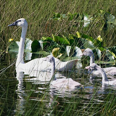 female tundra swan with cygnets baby swans in a pond with plants