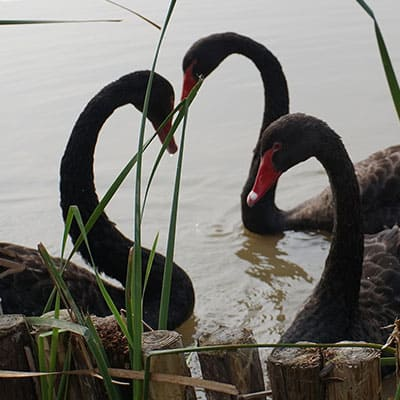 natural wood fencing helps protect swan nests