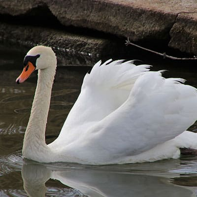an invasive mute swan in the U.S.