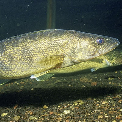 Adult walleye in a lake