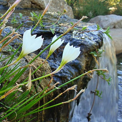 How to plant rain lily in ponds