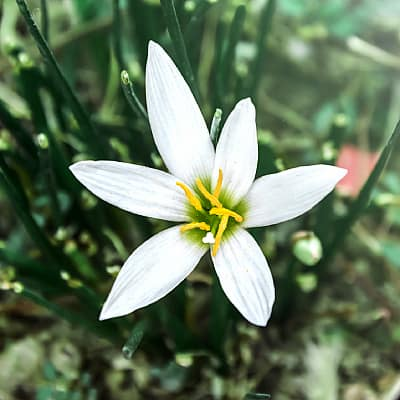 How to grow zephyr lily fairy lily rain lily in ponds