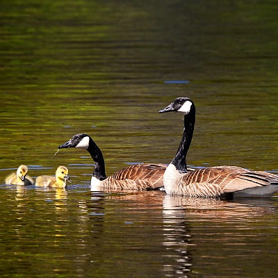 Canada geese pair with goslings