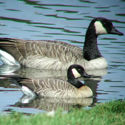 how to attract geese cackling goose