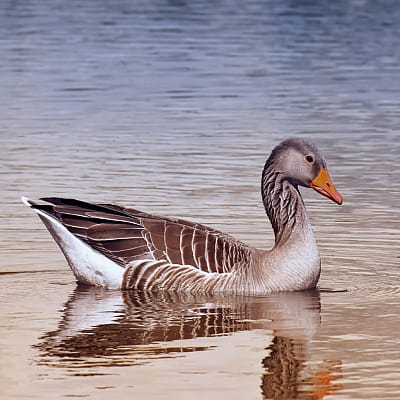 greylag goose graylag goose anser anser