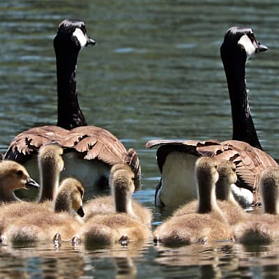 goose species of the world