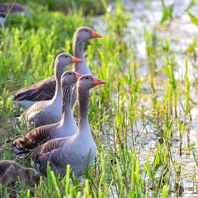 greylag geese pond lake marsh