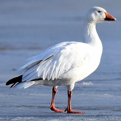 greater snow goose white goose