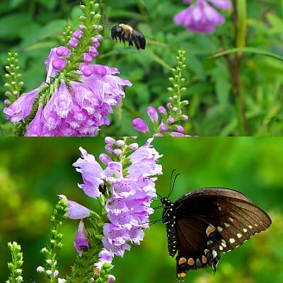 Obedient plant benefits to garden ponds
