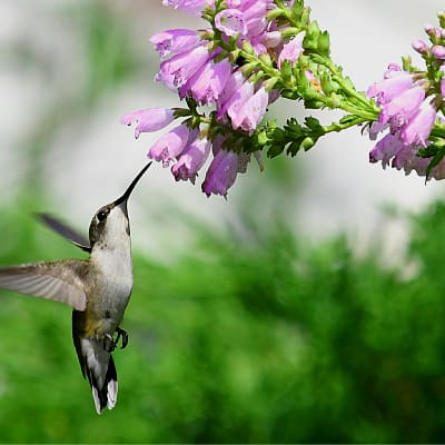 ruby throated hummingbird at purple obedient plant flowers