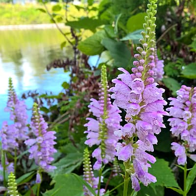 obedient plant flowers growing on the edge of a pond