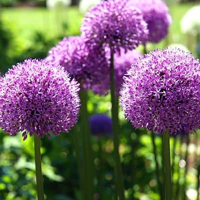 society garlic with purple flowers