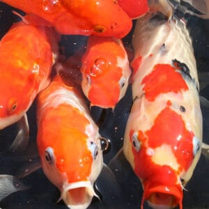 high quality food to improve koi health and water quality
