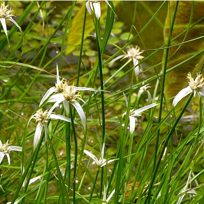 how to plant star grass in ponds
