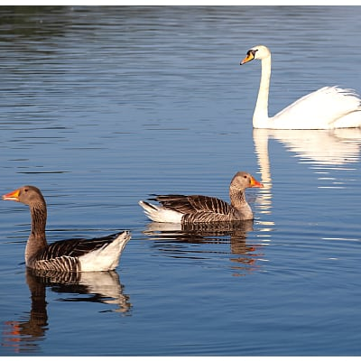 how to tell swans and geese apart