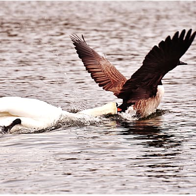 a mute swan attacking a Canada goose