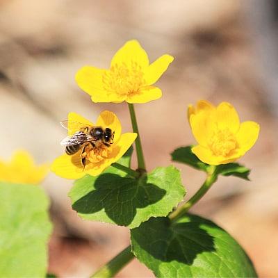 benefits of marsh marigold