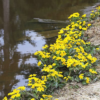 where to plant marsh marigold