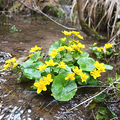 marsh marigold growing in shade