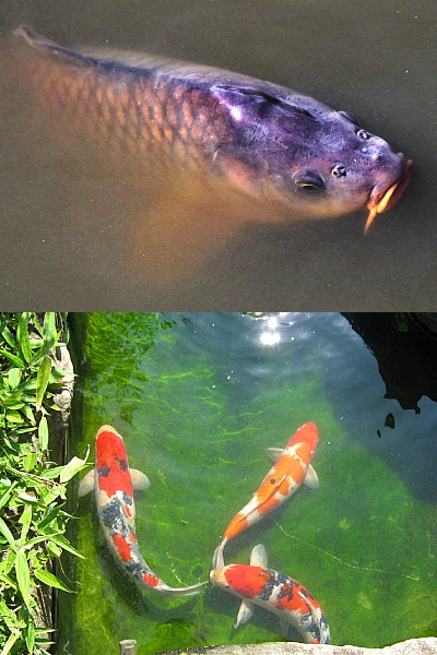 sanke koi breeding and judging