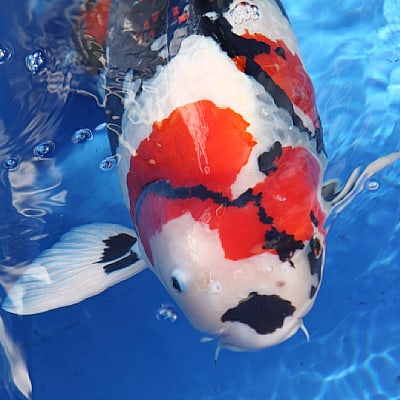 showa koi judging guidelines