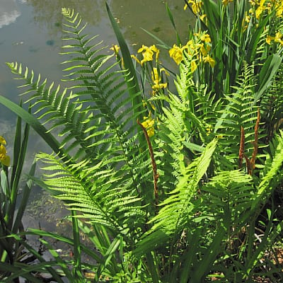 how to care for cinnamon fern