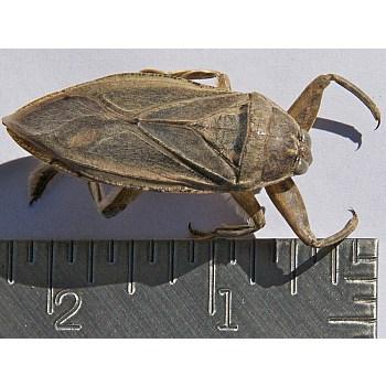 giant water bug size