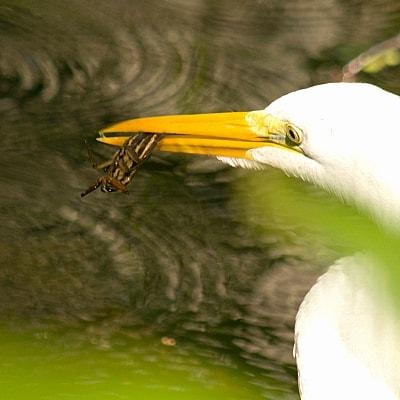 benefits of giant water bugs
