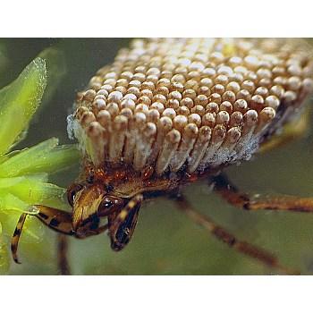 giant water bug life cycle