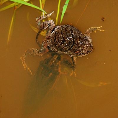 giant water bug eating frog
