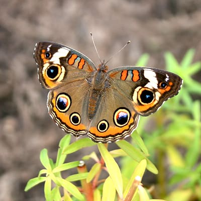 common buckeye butterfly depends on monkeyflower mimulus ringens