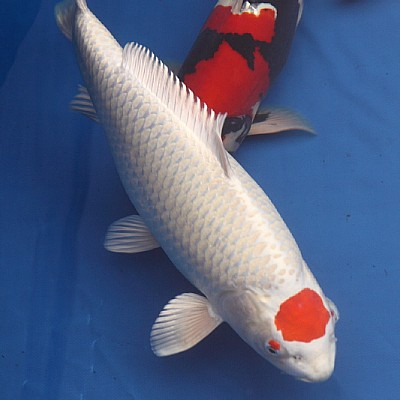 buy tancho koi price