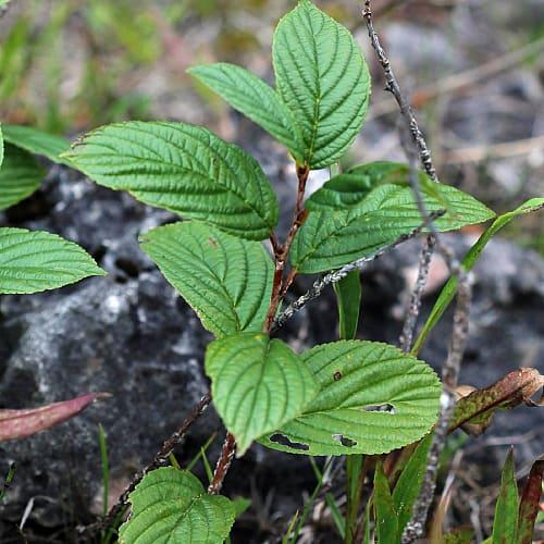 native buckthorn alder-leaved buckthorn michigan