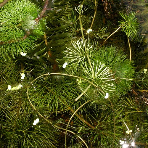 carolina fanwort michigan invasive species