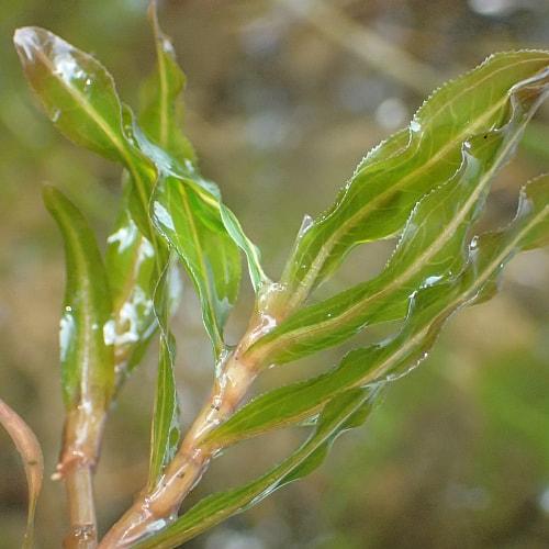 michigan invasive species curly-leaf pondweed