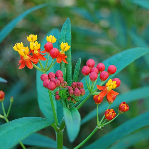 how much sun does tropical milkweed need asclepias curassavica