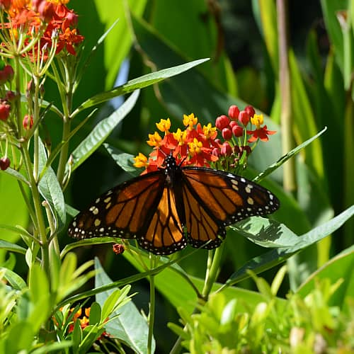 is mexican butterfly weed bad for monarch butterflies