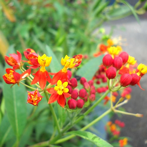 how to plant mexican butterfly weed
