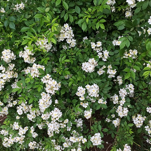 multiflora rose invasive species michigan