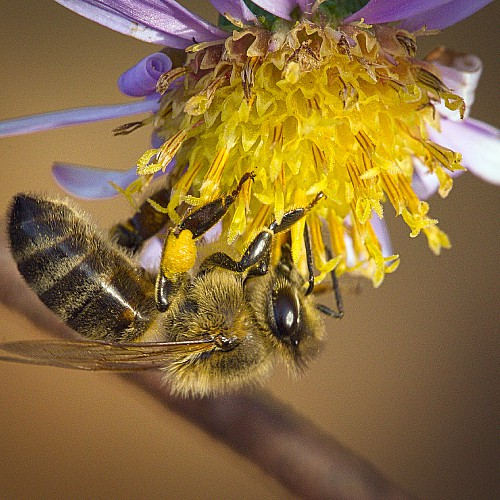 is new york aster good for pollinators