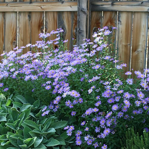 how fast does new york aster grow