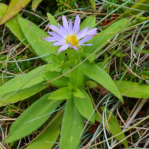 how to plant new york aster in gardens