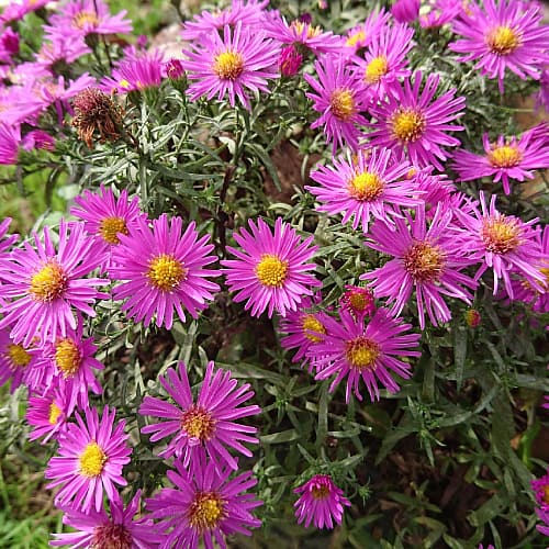 how to plant new york aster