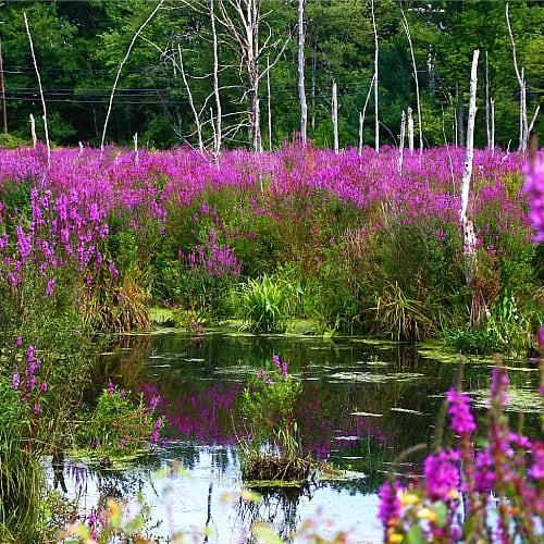 purple loosestrife invasive species michigan