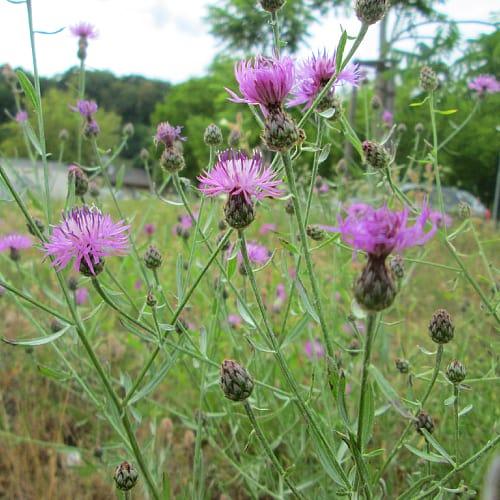 spotted knapweed michigan invasive species