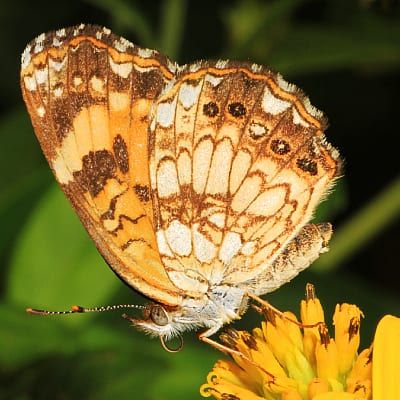 silvery checkerspot butterfly on sunflower